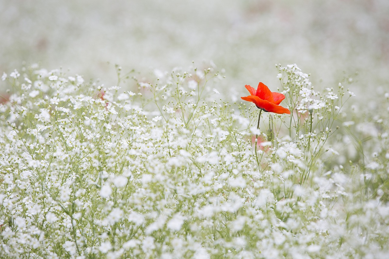 one poppy in field of little white flowers photo